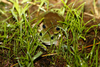 Green Tree Frog Love-in