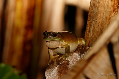 Green Tree Frog - Male
