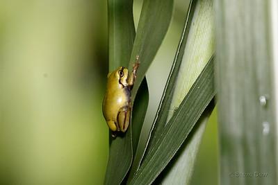 Juvenile Green Tree Frog