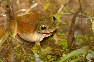 Green Tree Frog, Male