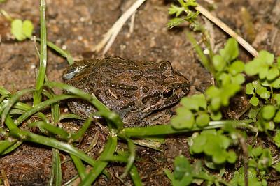 Marbled Frog