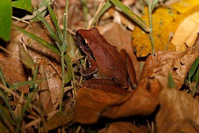 Northern Stony Creek Frog - Female