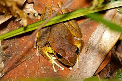 Northern Stony Creek Frog - Male