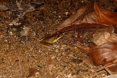 Northern Stoney Creek Frog - Male
