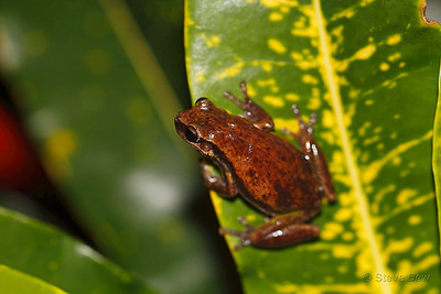 Naked Tree Frog