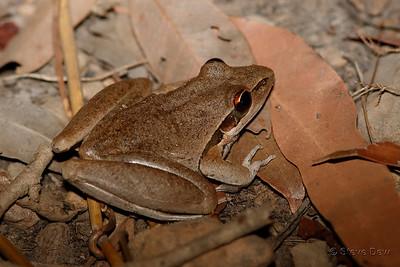 Spalding's Rocket (Wotjulum?) Frog