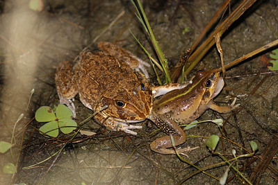 New Holland Frog dines on a Striped Burrowing Frog