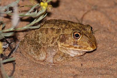 New Holland Frog - Adult
