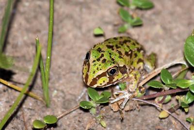 New Holland Frog - Juvenile