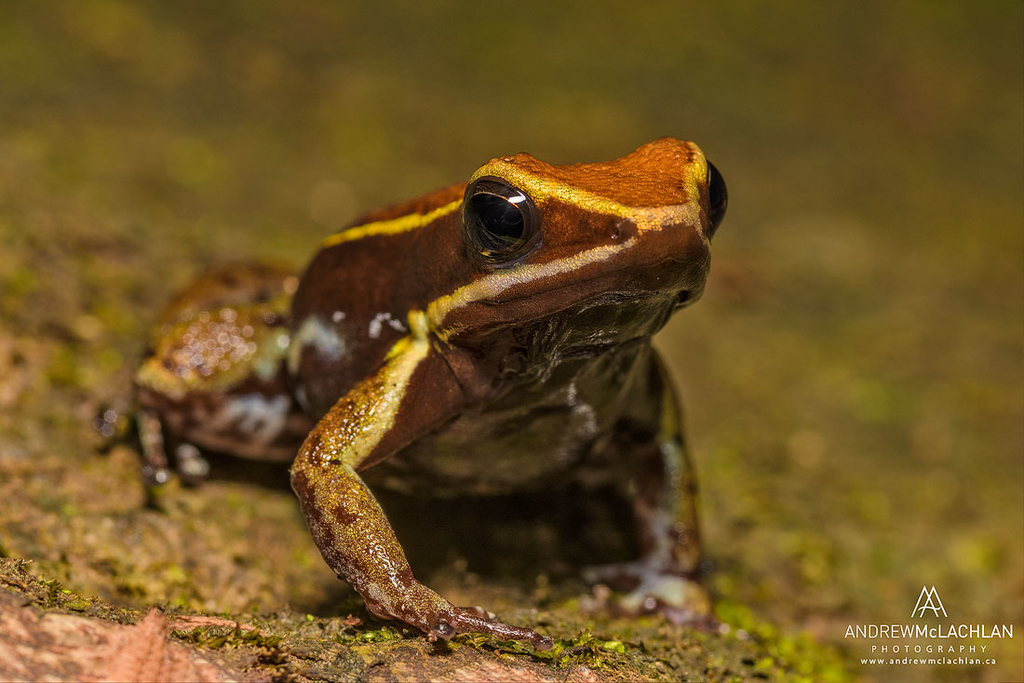 Allobates femoralis in the Amazon Rainforest near Chazuta, Peru