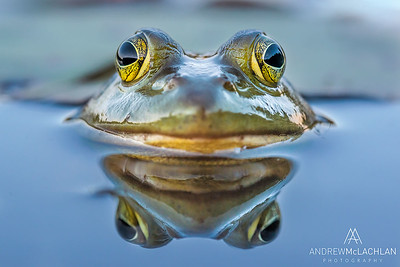 Bullfrog in wetland on Horseshoe Lake at dusk, Paryy Sound, Ontario, Canada