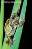 Gray Tree Frog (Hyla versicolor) on cattail leaves