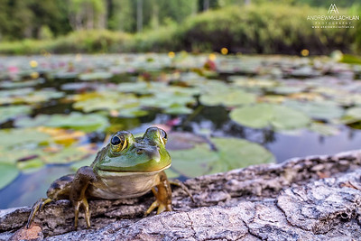 Bullfrog (Lithobates catesbeiana) in wetland on Horsehsoe Lake near Parry Sound, Ontario, Canada