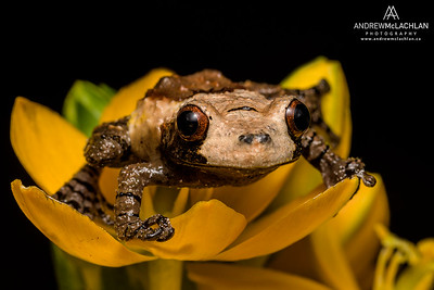 Bird Poop Tree Frog (Theloderma asperum) on a Ornithogalum blosson - captive bred