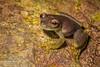 Cochran Frog (Rulyrana saxiscandens) an endangered species from the Cordillera Escalera, Peru
