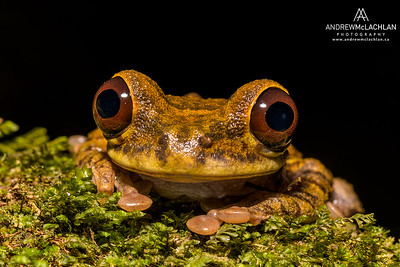 Tree Frog (Osteocephalus family) in the Cordillera Escalera, Peru