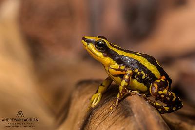 Ranitomeya tricolor - captive