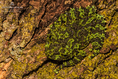 Vietnamese Moss Frog (Theloderma corticale) - captive bred