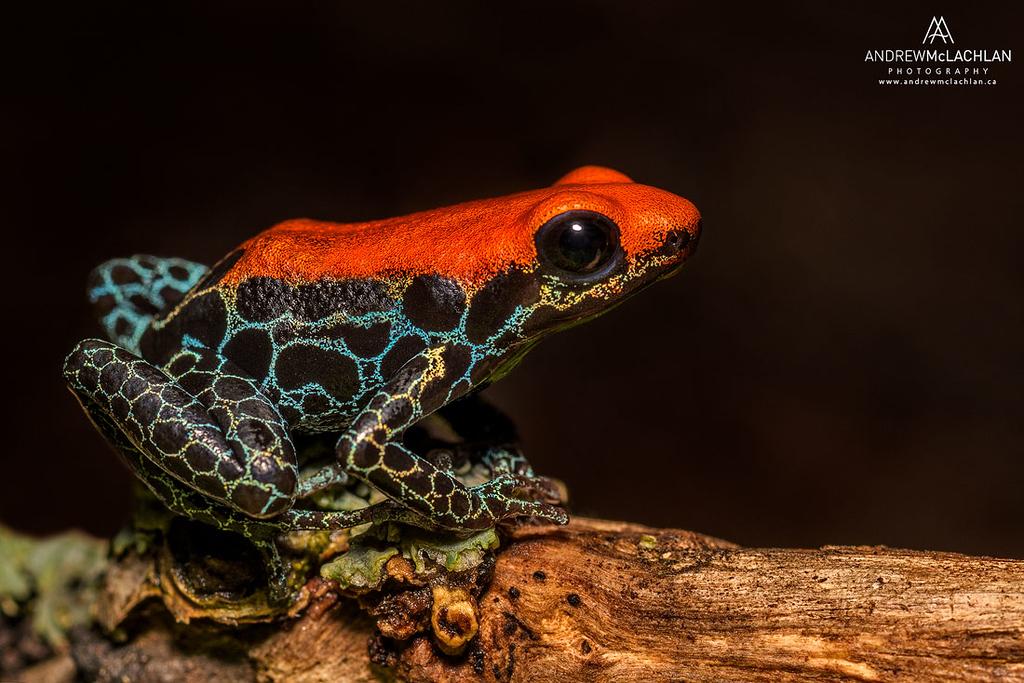 "Ranitomeya reticulata ""Iquitos"" - captive bred"