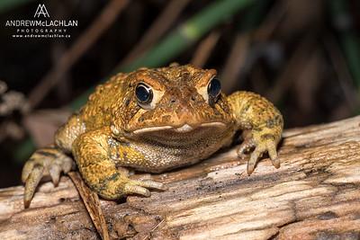 American Toad (Bufo [Anaxyrus] americanus)