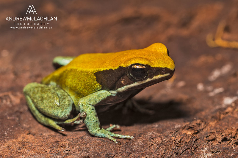 Green Mantella (Mantella viridis) - captive bred