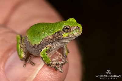 Gray Tree Frog (Dryophytes versicolor)