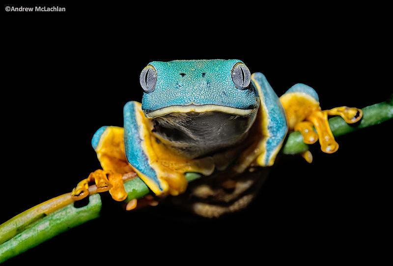 Splendid Leaf Frog (Cruziohyla calcarifer) - captive