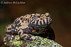 Fire Belly Toad (Bombina orientalis) - captive