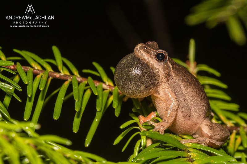 Spring Peeper (Pseudacris crucifer) with vocal sac inflated while chorusing, Barrie, Ontario, Canada