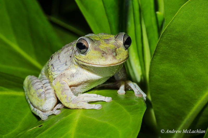 Cuban Tree Frog (osteopilus septentrionalis)