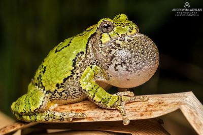 Gray Tree Frog (Hyla versicolor), Ontario, Canada