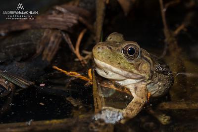 Bullfrog (Rana catesbeiana) - juvenile