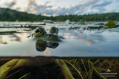 Over-Under Bullfrog (Lithobates catesbeiana) in wetland on Horsehsoe Lake near Parry Sound, Ontario, Canada
