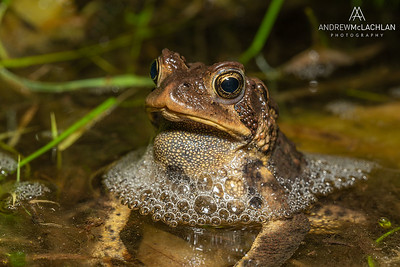 American Toad (Anaxyrus americanus) male