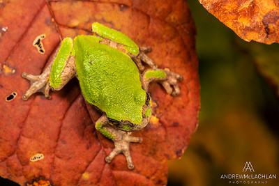 Gray Tree Frogs (Dryophytes versicolor)