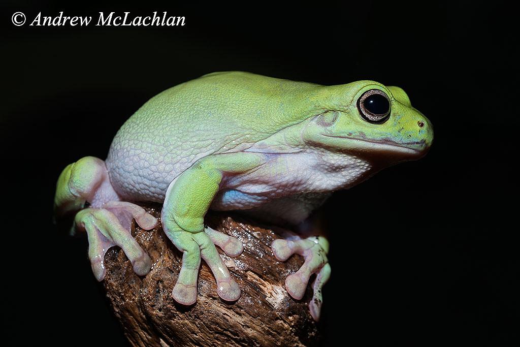 White's Tree Frog (litoria caerulea) - captive