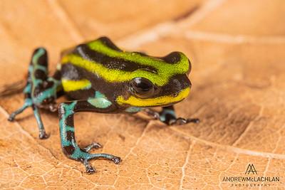 Ranitomeya serensis - captive