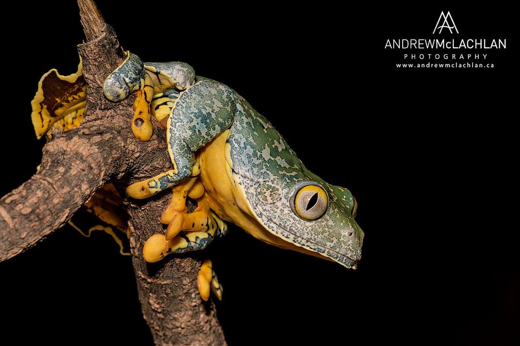 Fringed Leaf Frog (Cruziohyla craspedopus) - captive bred