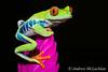 Red-eyed Tree Frog (Agalychnis callidryas) - captive