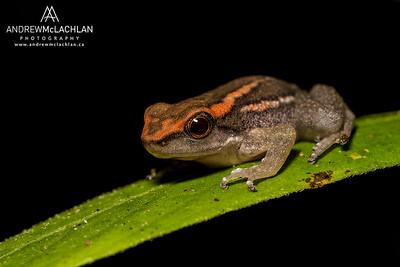 Los Tayos Rocket Frog (Hyloxalus nexipus) in the Cordillera Escalera, Peru