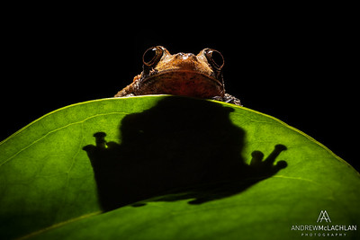 Bird Poop Tree Frog (Thelodrma asperum) - captive