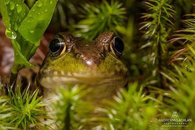Green Frog (Lithobates clamitans), Ontario, Canada