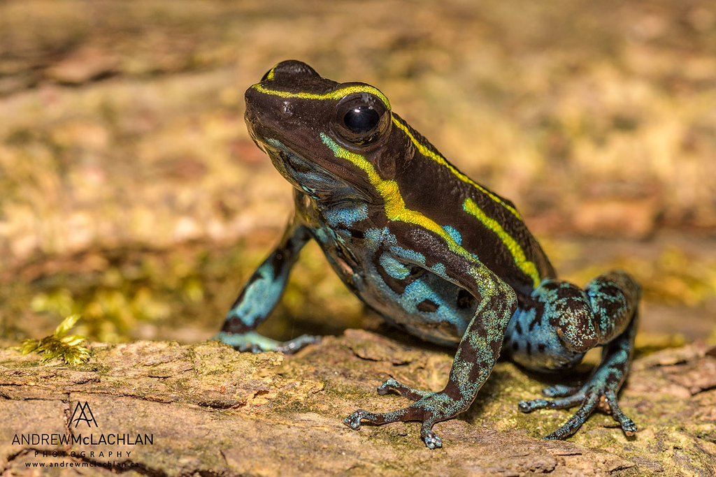 Cryptophyllobates azuriventris in the foothills of the Andes Mountains in Amazonian Rainforest in the Cordillera Escalera near Tarapoto, Peru