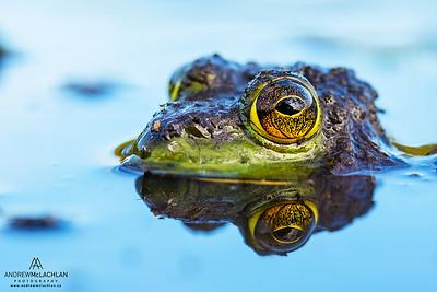 Bullfrog (Lithobates catesbeiana), Ontario, Canada