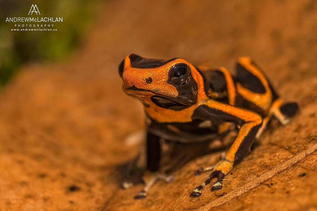 Ranitomeya summersi - captive bred