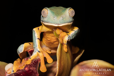 Splendid Leaf Frog (Cruziohyla calcarifer) - captive