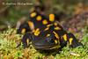 Fire Salamander (Salamandra salamandra) - captive