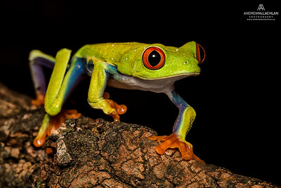 Red-eyed Tree Frog (Agalychnis callidryas) - captive