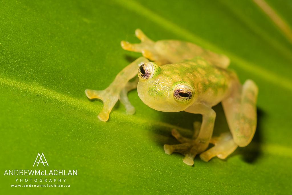 La Palma Glass Frog (Hyalinobatrachium valerioi) - captive bred