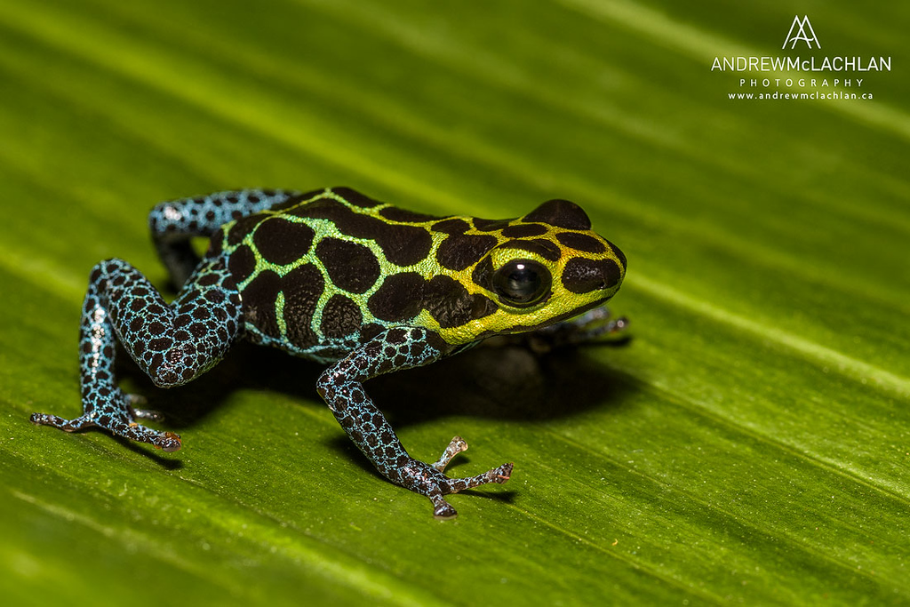 Ranitomeya imitator - captive bred